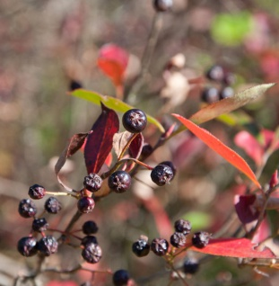 Apfelbeere Brilliant 80-100cm - Aronia arbutifolia