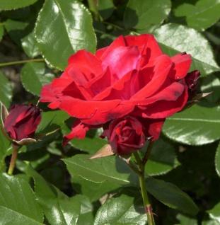 Floribundarose Montana® 30-60cm