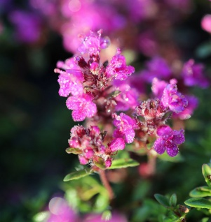 Scabiosa atropurpurea Purpurscabiosa Gartenskabiose Mammuth-Mischung