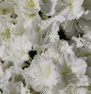 Japanische Azalee Maischnee® 15-20cm - Rhododendron obtusum - Zwerg Alpenrose