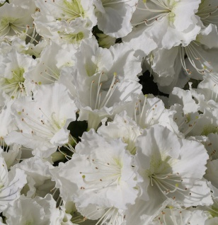 Japanische Azalee Maischnee® 40-50cm - Rhododendron obtusum - Zwerg Alpenrose