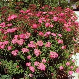 Roter Sommerspierstrauch Darts Red 20-30cm - Spiraea japonica