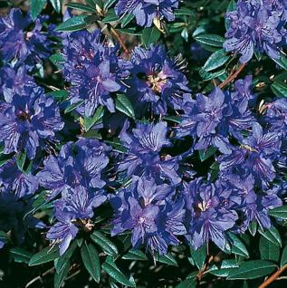 Zwerg Rhododendron Gletschernacht 50-60cm - Rhododendron russatum - Zwerg Alpenrose