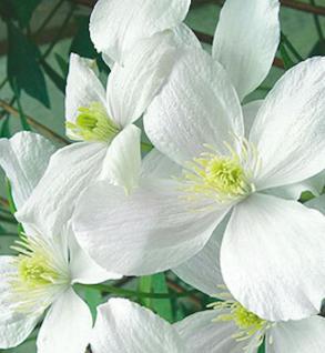 Berg Waldrebe Wilsonii 60-80cm - Clematis montana