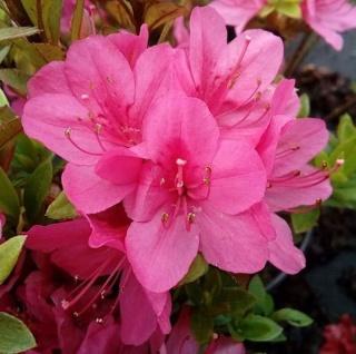 Japanische Azalee Rubinetta 20-25cm - Rhododendron obtusum - Zwerg Alpenrose