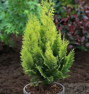 Gelbe Gartenzypresse Howarth Gold 80-100cm - Chamaecyparis lawsoniana