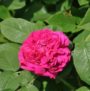 Historische Rose De Resht 30-60cm