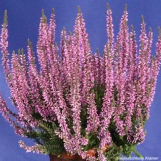 10x Knospenheide Gardengirls Hilda - Calluna vulgaris