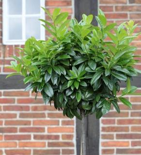 Hochstamm Kaukasische Lorbeerkirsche 80-100cm - Prunus laurocerasus