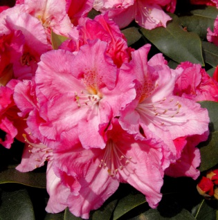 Großblumige Rhododendron Caruso 70-80cm - Alpenrose