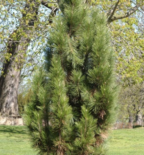 Säulen Schwarzkiefer 40-50cm - Pinus nigra