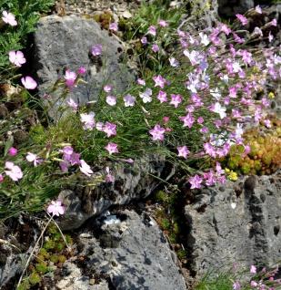 Stein Nelke - Dianthus sylvestris