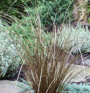 Fuchsrote Segge Red Rooster - Carex buchananii