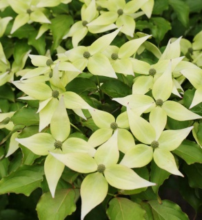 Japanischer Blumenhartriegel Teresa 80-100cm - Cornus kousa