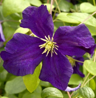 Robuste Waldrebe Blue Belle 60-80cm - Clematis viticella