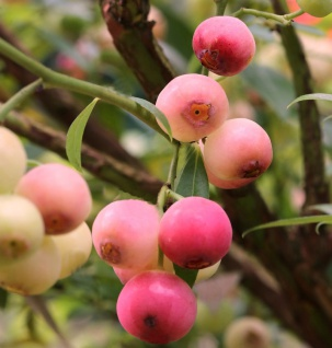 Heidelbeere Pink Lemonade 40-60cm - Vaccinium corymbosum