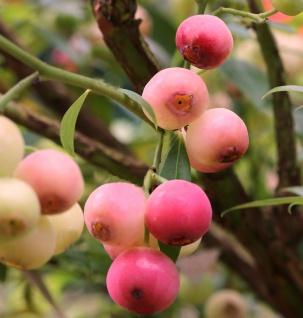 Heidelbeere Pink Lemonade 80-100cm - Vaccinium corymbosum