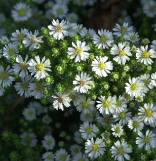 Teppich Aster Snowflurry - Aster pansus