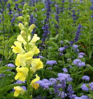 Garten Löwenmaul Yellow - großer Topf - Antirrhinum Yellow