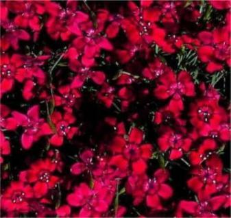 Pfingstnelke Rotkäppchen - Dianthus gratianopolitanus