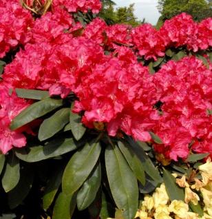 Rhododendron Astrid® 40-50cm - Alpenrose