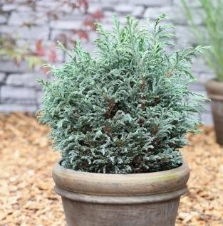 Scheinzypresse Blue Moon® 20-25cm - Chamaecyparis pisifera