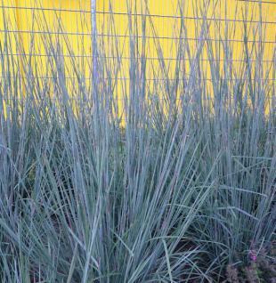 Bartgras Prairie Blues - Andropogon gerardii