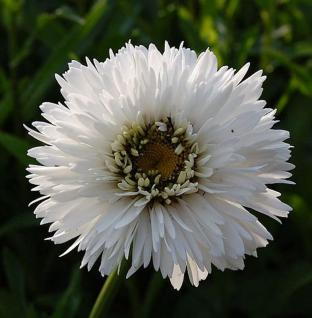 Gartenmargerite Snehurka - Leucanthemum superbum