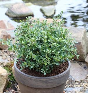 Löffel Ilex Dark Green 60-80cm - Ilex crenata