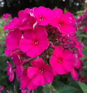 Hohe Flammenblume Kirchenfürst - Phlox Paniculata