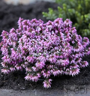 10x Winterheide Rosantha - Erica carnea