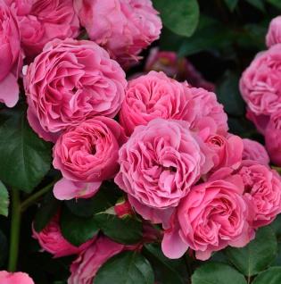 Hochstamm Rose Leonardo da Vinci® 60-80cm