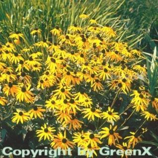 Sonnenhut Goldsturm - großer Topf - Rudbeckia fulgida