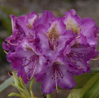 INKARHO - Rhododendron Bohlkens Lupinenberg 30-40cm - Alpenrose