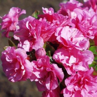Japanische Azalee Babuschka® 20-25cm - Rhododendron obtusum - Zwerg Alpenrose