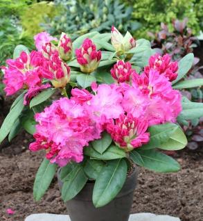INKARHO - Großblumige Rhododendron Ariane IV 25-30cm - Alpenrose