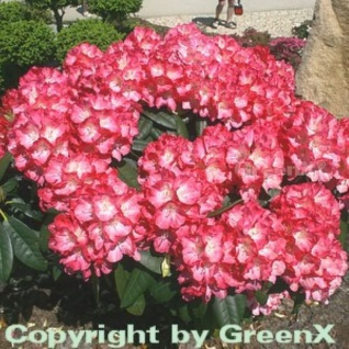 INKARHO - Rhododendron Fantastica 30-40cm - Alpenrose