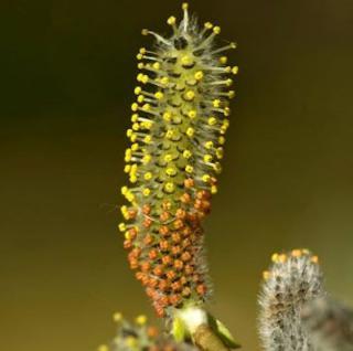 Purpurweide 100-125cm - Salix purpurea