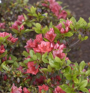 Japanische Azalee Hatsugin 25-30cm - Rhododendron obtusum - Zwerg Alpenrose