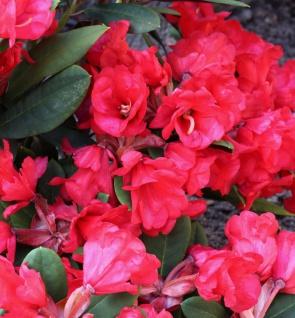Hochstamm Azalee Burletta 80-100cm - Rhododendron neriiflorum - Alenrose