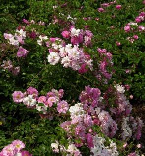 Floribundarose Marondo 30-60cm