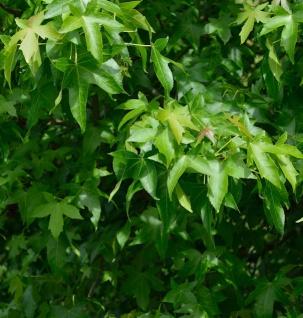 Säulen Amberbaum Slender Silhouette 125-150cm - Liquidambar styraciflua