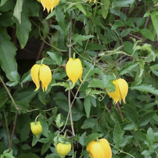 Gold Waldrebe 40-60cm - Clematis tangutica
