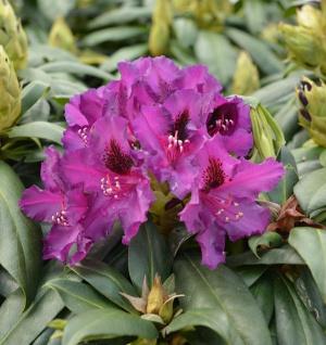 Großblumige Rhododendron Black Pearl 30-40cm - Alpenrose