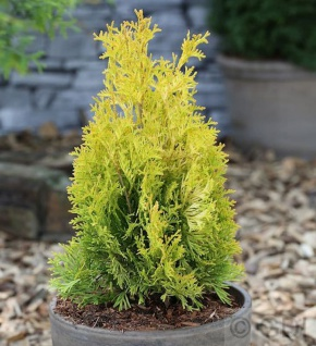 Goldgelber Lebensbaum Jantar 50-60cm - Thuja occidentalis - Vorschau