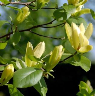 Magnolie Butterflies 100-125cm - Magnolia