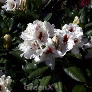 INKARHO - Großblumige Rhododendron Hachmanns Picobello® 25-30cm - Alpenrose