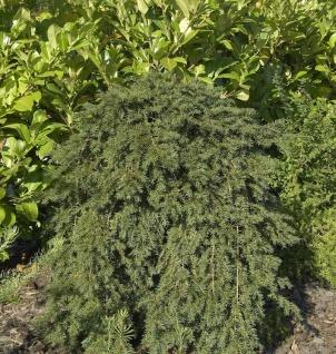Hänge-Eibe 30-40cm - Taxus baccata