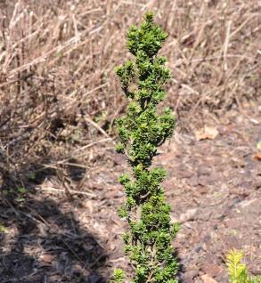 Eibe Green Column 40-50cm - Taxus baccata