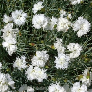 Federnelke Mrs Sinkins - Dianthus plumarius